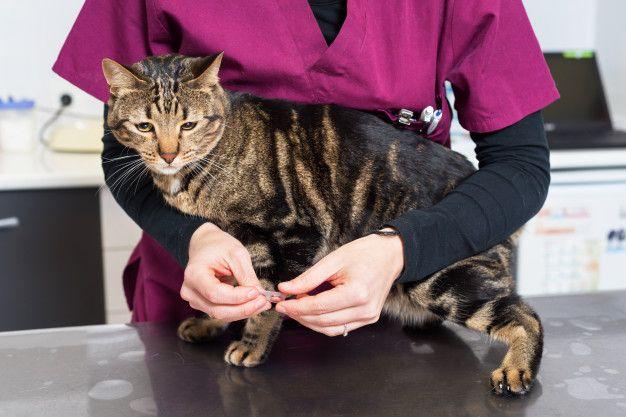 medico-veterinario-dando-pastilla-desparasitar-gato_56854-1883